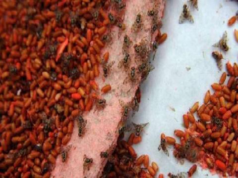 Técnica del insecto estéril
